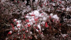 Snöig träd med små röda bär i natten arkivfilmer