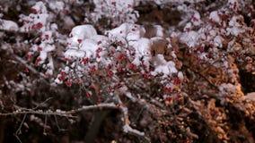 Snöig träd med små röda bär i natten lager videofilmer