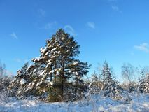 Snöig träd och gräs i ängen i vinter, Litauen royaltyfri bild
