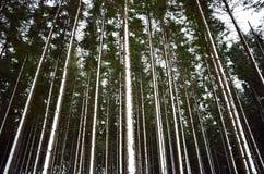 Snöig trädstammar efter snöstorm Royaltyfria Foton