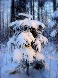 snöig tree för gran Arkivbild