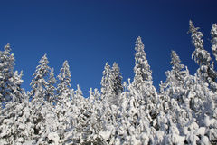 snöig trees för blå sky Arkivbilder