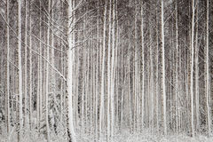 Snöig trees i skog Royaltyfri Foto