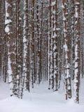 snöig treestammar Royaltyfri Fotografi