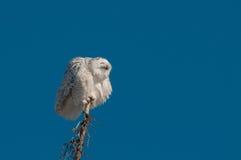 Snöig uggla arkivfoto