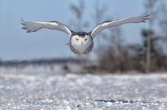 Snöig uggla Royaltyfria Bilder