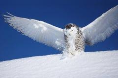 Snöig uggla med öppna vingar Fotografering för Bildbyråer