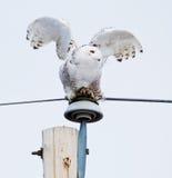 Snöig uggla som är klar för flyg Royaltyfria Bilder