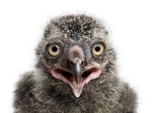 Snöig ugglafågelunge, Buboscandiacus arkivfoto