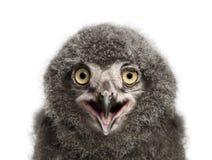 Snöig ugglafågelunge som kallar, Buboscandiacus, 31 gamla dagar mot wh Royaltyfria Bilder
