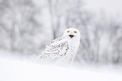 Snöig ugglasammanträde för fågel på snön, vinterplats med snöflingor i vind Arkivfoton