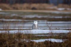 Snöig ugglasammanträde i fältet royaltyfri fotografi