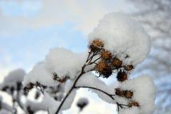 snöig växt Fotografering för Bildbyråer