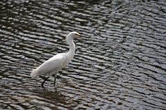 snöig vadande för egret Royaltyfri Foto