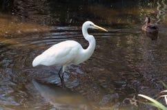 snöig vadande för egret Royaltyfri Bild