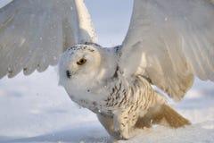 snöig vingar för klaffowl Fotografering för Bildbyråer