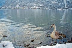 snöig vinter Österrike för kallt berg Fotografering för Bildbyråer