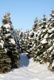 snöig vintergrön bana Arkivfoton