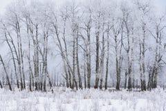 Snöig vinterlandskap med den asp- dungen, älgönationalpark, Kanada Arkivbilder