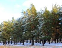 Snöig vinterpinjeskog Arkivbild