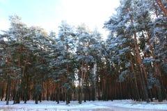 Snöig vinterpinjeskog Royaltyfri Bild