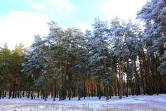 Snöig vinterpinjeskog Royaltyfri Foto