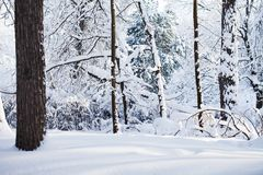 Snöig vinterskogbakgrund Platsen för kallt väder, snö täckte trädlandskap royaltyfria bilder