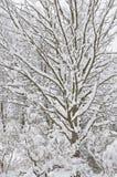 Snöig vinterträd, ny ny snö täckte filialer efter häftig snöstormsnöstorm, drivor för tungt snöfall, åtskillig trädrisdetalj, arkivbild
