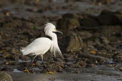 snöig white för egret royaltyfria foton