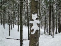 Snökatt i vinterskogen Royaltyfria Bilder