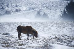 Snölandskap med ponnyer i den Dartmoor nationalparken Arkivbild