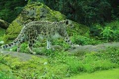 Snöleopard Arkivbilder
