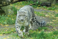 Snöleopard Arkivbild