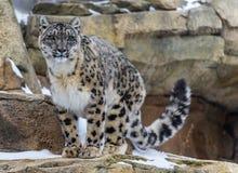 Snöleopard Fotografering för Bildbyråer