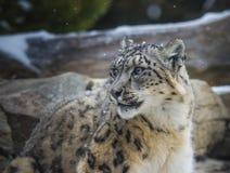 Snöleopard Arkivfoto