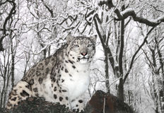 Snöleopard Royaltyfri Fotografi