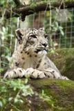Snöleopard i fångenskap Arkivbilder
