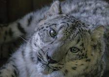 Snöleopard i fångenskap - nära övre fotografering för bildbyråer