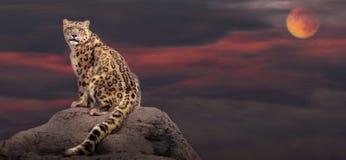 Snöleopard i måneljus Fotografering för Bildbyråer