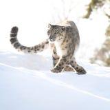Snöleopard i vintern Arkivbild