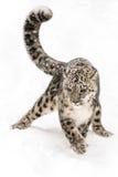 Snöleopard på kringstrykandedroppen Royaltyfri Foto