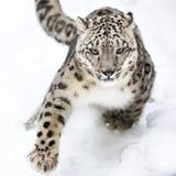 Snöleopard på kringstrykandet VI Arkivfoto
