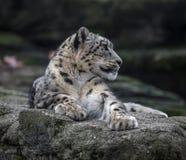 Snöleopard på vagga arkivfoto