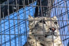 Snöleopard som ser till och med buren i zoo Fotografering för Bildbyråer