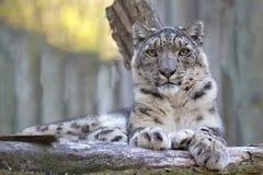 Snöleopard, Uncia uncia, stående Arkivfoton