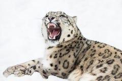 Snöleopard XII Fotografering för Bildbyråer