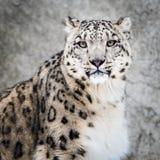 Snöleopard XIV fotografering för bildbyråer