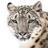 Snöleopard XVI Arkivbild