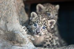 Snöleoparden behandla som ett barn Arkivbilder