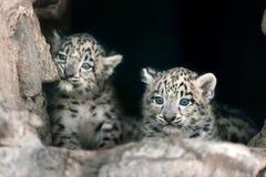 Snöleoparden behandla som ett barn Arkivbild